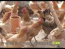 【养鸡记录--我在张家界散养土鸡的过程直播】-2