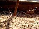 湖南野鸡价格山鸡养殖场技术野鸡套做法