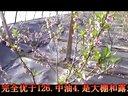 辽宁铁岭亿康油桃树苗整形修剪技术视频
