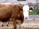 肉牛养殖场西门塔尔养殖技术视频