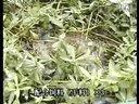 泥鳅黄鳝养殖技术-泥鳅的繁殖技术视频