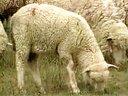 养牛技术大全24集(育肥牛羊的品种选择及设施建设)_标清视频