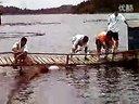 渔愉鱼-花鲢抬网人工抬网抬网捕鱼视频