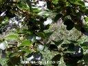 猕猴桃花开蜜蜂忙授粉