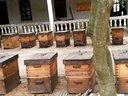 舌尖上的中国之湛江花辰蜂蜜蜂场全景蜜蜂养殖