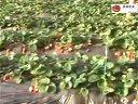 2014年最新草莓种植技术视频
