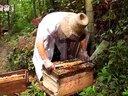 【原蜜坊】土蜂养殖合作社全程割蜜100%原生态蜂蜜视频