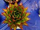 圣地亚哥仙人掌与多肉植物展欣赏(3_5)_720P【醉花网】视频