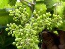 农科天地葡萄的种植管理技术及发展前景视频