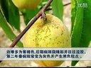 16-桃树栽培与病虫害综合防治二_标清视频