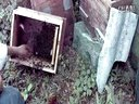 :新式中蜂�B殖蜜蜂知道�@次����B殖技�g��l