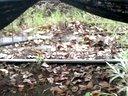 牡丹江市丰收村军创农产品专业合作社30亩林地鸡腿菇种植现场视频