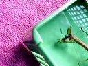 螳螂吃蚱蜢视频