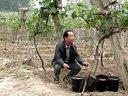 葡萄树猕猴桃树绑枝卡--果农朋友的好帮手!!!_标清_1视频