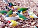 美丽的七彩文鸟吃饭啦--七彩文鸟网阿康视频