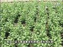 20130812珠江台摇钱树:枸杞叶浇微补调力和根力钙长势齐叶绿(陈颜成案例)视频