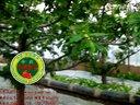 玉熙果园2015年正月十五大棚樱桃种植技术(早棚150米)视频
