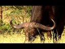 国家地理南非水牛视频
