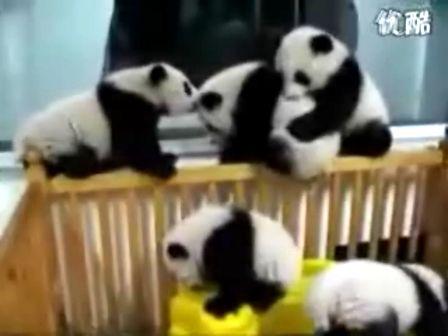 超可爱—打架的熊猫宝宝