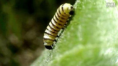 毛毛虫变蝴蝶的蜕变过程