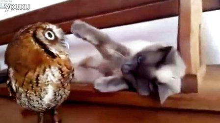 灰猫看着小猫头鹰长大 深情拍拍头
