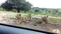 在野生动物园千万不要忘了锁车门