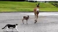 鹿太可怕了!母鹿为了从猫手上保护小鹿,结果。。