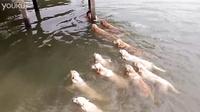 泰国男子和他家金毛游泳,金毛以为主人溺水了。。。
