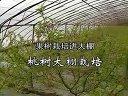 桃树大棚栽培视频