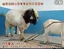 波尔山羊养殖技术 波尔山羊养殖场 山羊养殖 (1571播放)
