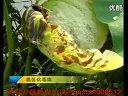 莲藕种植技术_chunk_12 (718播放)