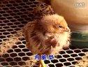 蛋鸡鸡场鸡舍消毒与鸡病防疫-养鸡技术视频08
