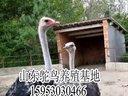 鸵鸟养殖基地_鸵鸟饲养品种,山东鸵鸟养殖非洲鸵鸟养殖场鸵鸟苗