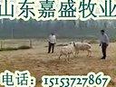 小尾寒羊养殖山东正规养羊基地育肥羊价格