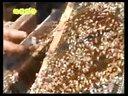 蜜蜂养殖(中华蜜蜂养殖技术)