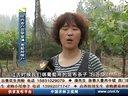 葡萄树猕猴桃树绑枝卡视频