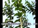 西府海棠苗木视频
