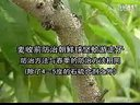 桃树病虫害防治Bchunk1-200772510513_标清视频