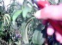 开心形桃树夏季修剪现场示范(YY直播讲座)视频