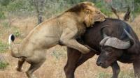 怒氣沖沖獅子攻擊水牛 結果反被水?;罨钜?!