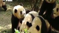 7只大熊貓要開飯 只有1個奶爸 光喊果賴果賴果賴就累壞了!