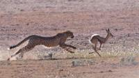 非洲獵豹與瞪羚羊的生死追逐, 相差一秒定成敗!