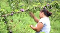 农村大姐种十亩李子树  四年终于结果万斤