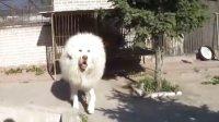 2012年第八屆中國藏獒展A級犬(雪獒北海)