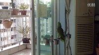 我家住在黃土高坡——亞馬遜鸚鵡