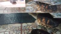 新款1米側濾烏龜缸 金龜別墅