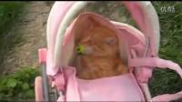 【pig囧視】萌寵 小女孩用嬰兒車推著叼奶嘴的貓咪外出