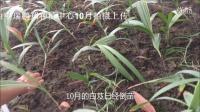 四川白芨種植技術 白芨種植視頻 四川白芨種苗