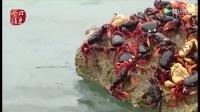古巴百萬螃蟹橫行 當地居民不敢吃