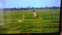 羚羊的速度超過了鷹,這速度估計比獵豹快多了!